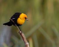 Free Blackbird On Reed Stock Photo - 10567470