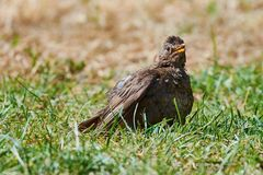 Blackbird with open beak in the grass stock photography