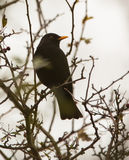 Blackbird på en förgrena sig Arkivbilder
