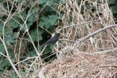 Blackbird på en förgrena sig jakt Royaltyfri Fotografi