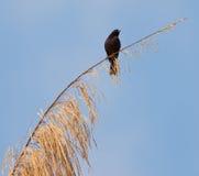 Blackbird på en fatta Arkivfoton