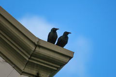 Blackbird Pair Perched on Roof Stock Images