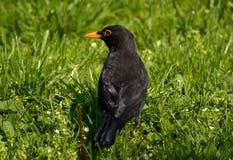 Blackbird in a park Stock Photo