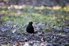 Blackbird in the park. stock photos