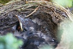 Blackbird peaking its head out of nest Royalty Free Stock Photos