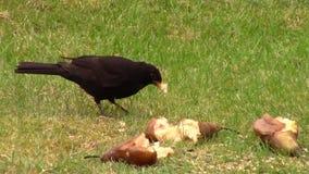 Blackbird pecking at a fallen pear in a garden. stock video