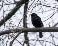 Blackbird perched on a branch Royalty Free Stock Photography