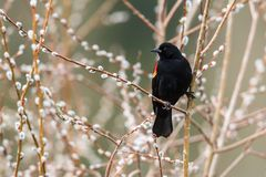 Blackbird is perched on a branch. Royalty Free Stock Photo