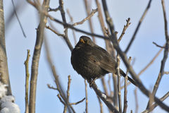 Blackbird Stock Image