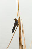 Blackbird perched on reed Stock Images