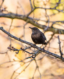 Blackbird perching on a branch Stock Photos