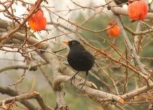 Blackbird on a persimmon tree. A blackbird on a persimmon tree Stock Image