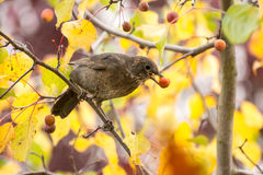 Blackbird picking fruits from a tree Royalty Free Stock Photography