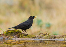 Blackbird at pool. A male Blackbird (Turdus merula) drinking at a pool stock image