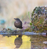 Blackbird at pool with reflections Royalty Free Stock Image