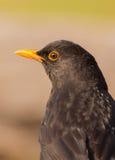 Blackbird portrait Royalty Free Stock Photos