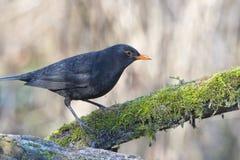 Blackbird portrait Stock Photos