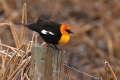 Blackbird On Post. A Yellow-headed Blackbird resting on a perch in Colorado Stock Image