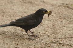 Blackbird with prey in beak Stock Images