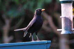 Blackbird proudly standing. Royalty Free Stock Photo