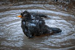 Blackbird. In a puddle Stock Image