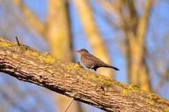 Blackbird in the rade of a park tree. On the branch of the tree: Without worry sing. I, looking for the sound of peace in the song of the stones later, I know Royalty Free Stock Photo