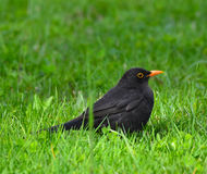 Blackbird resting on the lawn Stock Photos
