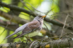 Blackbird rowan on a branch Royalty Free Stock Photo