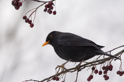 Blackbird. And rowan fruit on a grey winter day royalty free stock photo