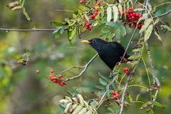 Blackbird. On a rowan tree in autumn royalty free stock photography