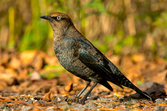 blackbird rusty Obraz Royalty Free