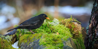Blackbird. Searching for food in the woods royalty free stock images