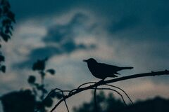 Blackbird silhouette Stock Photos
