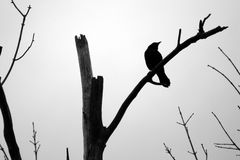 Blackbird Silhouette Perched on Dead Tree Branch. Silhouette of a grackle perched among the branches of a dead tree royalty free stock photos