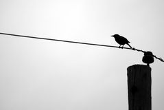 Blackbird Silhouette on Telephone Wire. The silhouette of a small grackle (Quiscalus quiscula) blackbird perched on a telephone line royalty free stock photography
