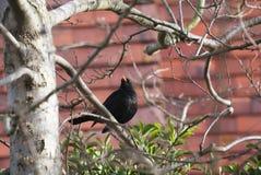 Blackbird on Silver Birch Stock Photography