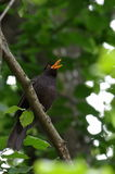 Blackbird singing Royalty Free Stock Images