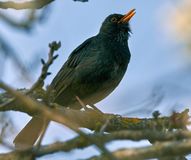 Blackbird singing on a branch Stock Images