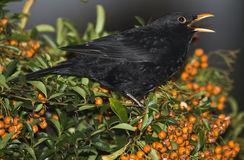 Blackbird singing, Stock Photos