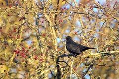 Blackbird singing a song in December Royalty Free Stock Photos