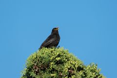 Blackbird singing from the top of a thuja. European blackbird singing from the top of a thuja under a clear blue sky Stock Photography