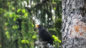 Blackbird singing In a tree. Blackbirds, birdphoto, birdphotography, trees, forest, woods, finland, high, branch stock photos