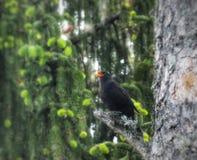 Blackbird singing In a tree. Blackbirds, birdphoto, birdphotography, trees, forest, woods, finland, high, branch stock photography