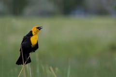 Free Blackbird Sings In Utah Stock Image - 76081341