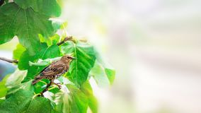 Blackbird sits on a branch of figs. Crop pests of trees and shrubs. Background. Copy space stock images