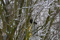 A blackbird sits on a tree. In winter royalty free stock image
