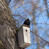 Blackbird on a birdhouse Royalty Free Stock Photo