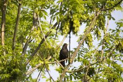 Blackbird sitting on a deciduous tree. Surrounded by lush green leaves Royalty Free Stock Photos