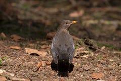 Blackbird sitting on forest land in the Veluwe Stock Photo