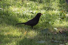 Blackbird sitting on the grass royalty free stock images